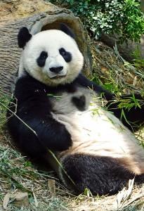 すぐに連絡が来たハートのパンダの待ち受け画像