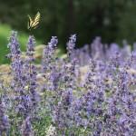 ラベンダーと蝶で復活愛