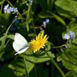 タンポポと蝶で恋が叶う待ちうけ