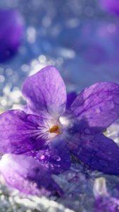紫のパンジーで恋の願いが叶う待ち受け画像、ラインの背景画像