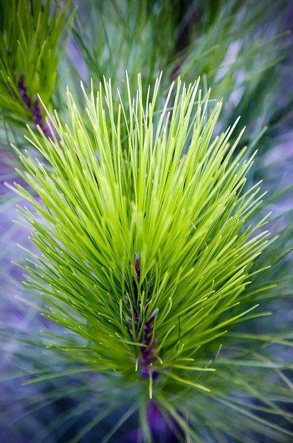pine-needles-171452_640