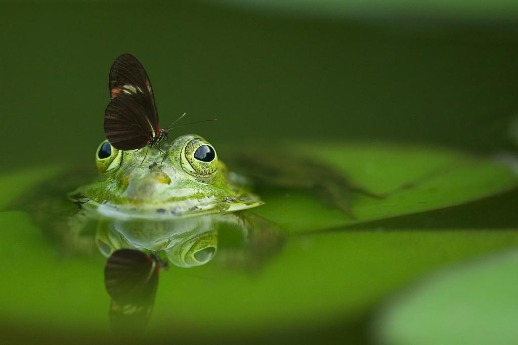 frog-540812_1280