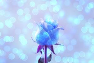 復縁?不倫?に効果のある薔薇、青いバラの待ち受け