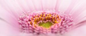 ピンクのハートのガーベラの復縁画像