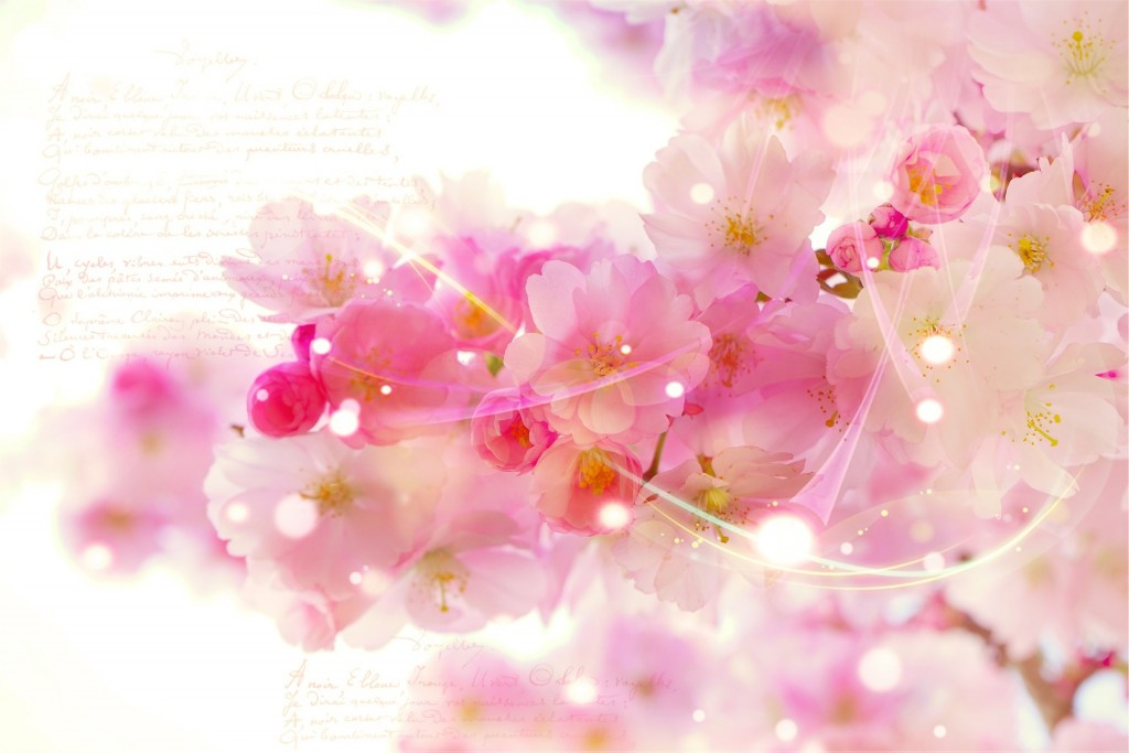 japanese-cherry-trees-587460_1920