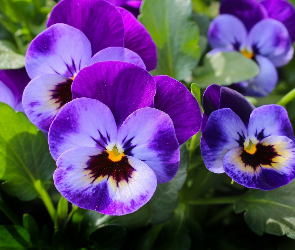 pansy-327188_1280