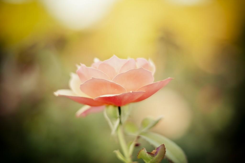 rose-177969_1920