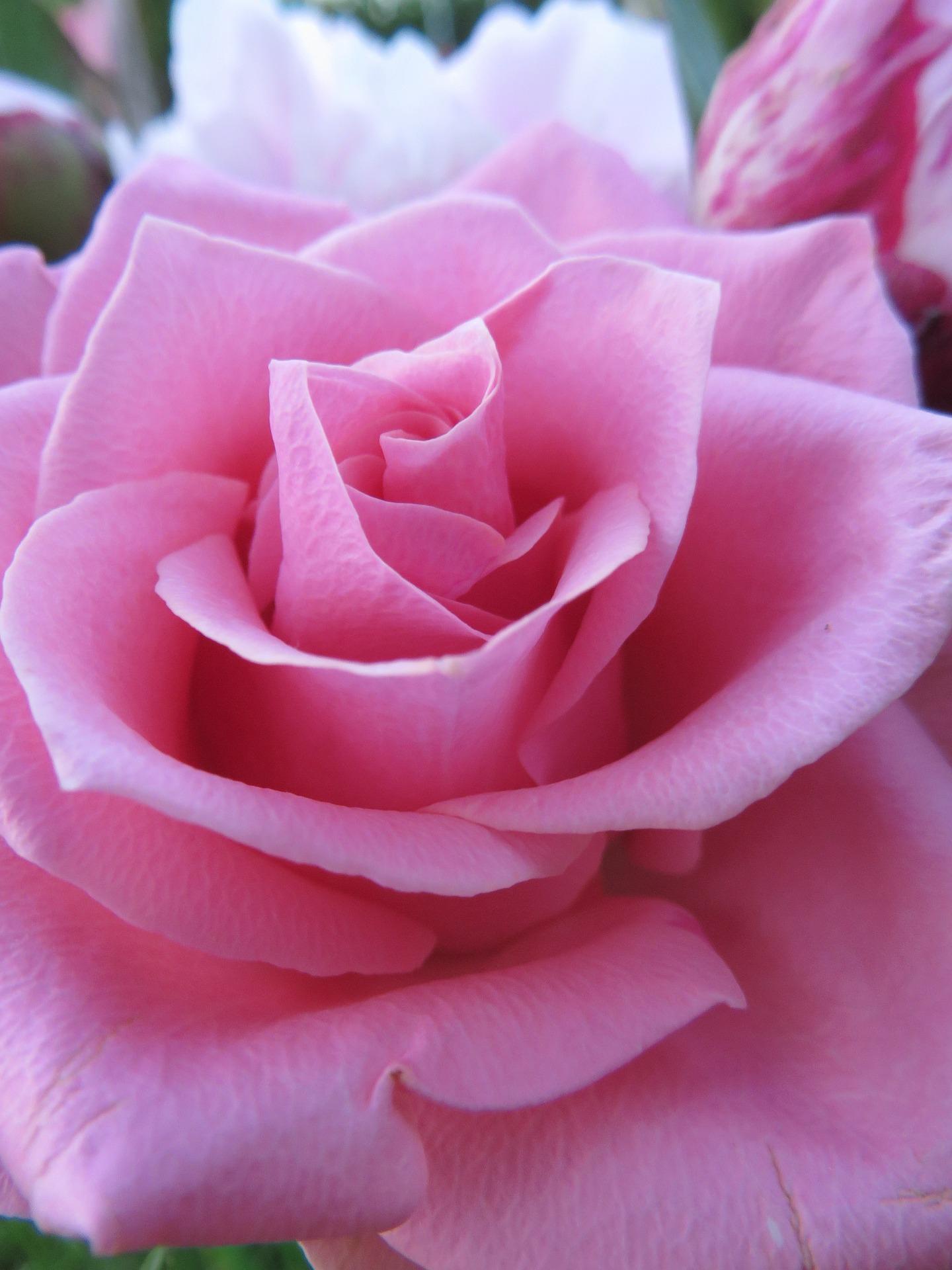 薔薇の待ち受け 情熱が蘇る 恋愛運アップ Iphone Lineの背景