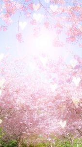 恋愛運が上がる桜の花と太陽の待受画像