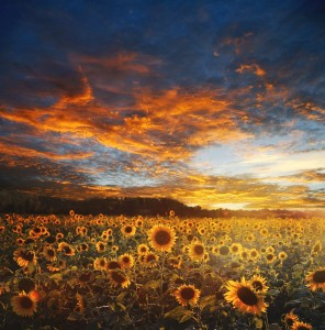 sunflower-field-730446_1280