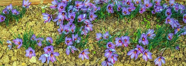 saffron-998004_640