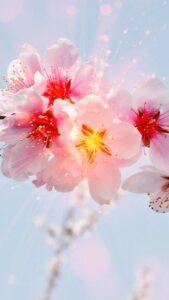 桃のお花の結婚運、恋愛運が上がる待受画像