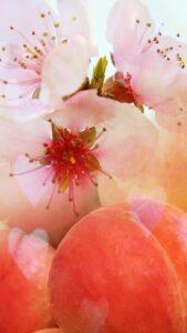 桃と桃のお花が一緒になった女性の運気を上がる待受画像