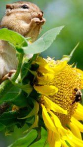 ひまわりとリスと蜂のなんでも引き寄せる待ち受け画像・ラインの背景