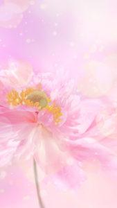 【ピンクの待ち受け】ピンクのお花で連絡が来る、恋の願いが叶う背景画像