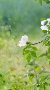 不倫、略奪愛が叶う白薔薇の画像を待ち受け
