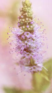 ミントの花で復活愛する恋の待ち受け画像、ラインの背景画像