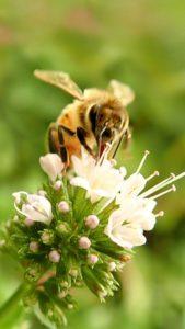 お金も恋も引き寄せる、ミントと蜂の待ち受け画像、ラインの背景