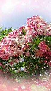 彼から愛される待ち受け画像、ハワイのシャワーツリー