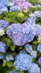 連絡が来るハートの紫陽花の待ち受け・ラインの背景・壁紙