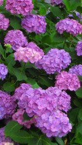 仕事運、人気が出る紫陽花の待ち受け。ラインの背景画像、壁紙