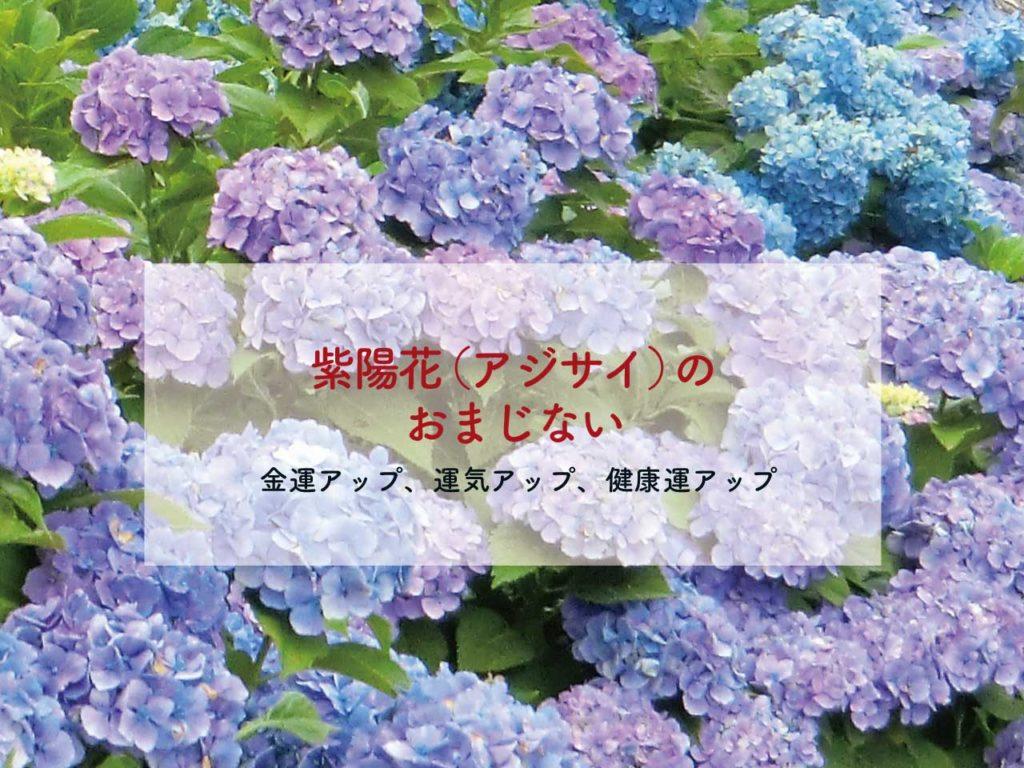 紫陽花(アジサイ)のおまじない【金運アップ、運気アップのおまじない】