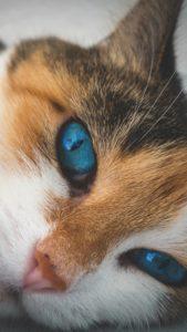 幸運を呼ぶ白猫、三毛猫の待ち受け画像、ラインの背景、壁紙