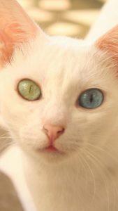 幸運を呼ぶオッドアイの猫の待ち受け画像、ラインの背景、壁紙