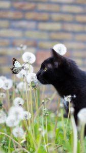 恋を叶える黒猫と蝶の待ち受け画像、ラインの背景、壁紙