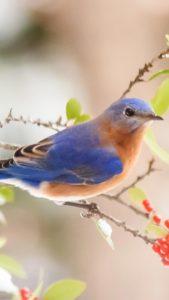 恋の願いが叶う青い鳥の待ち受け
