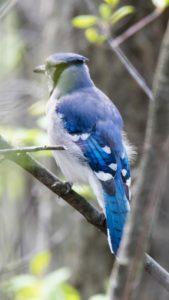 運気をあげる青い鳥の待ち受け