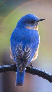 運命の出会いを運ぶ青い鳥の待ち受け