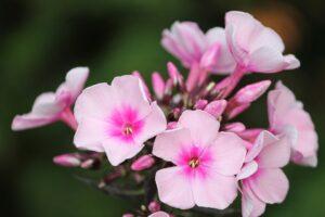 ピンクムーンの語源、フロックスの花